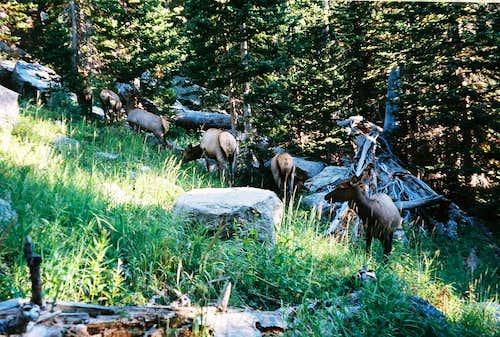 Elk near the Loch