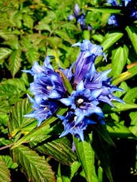 Willow Gentian