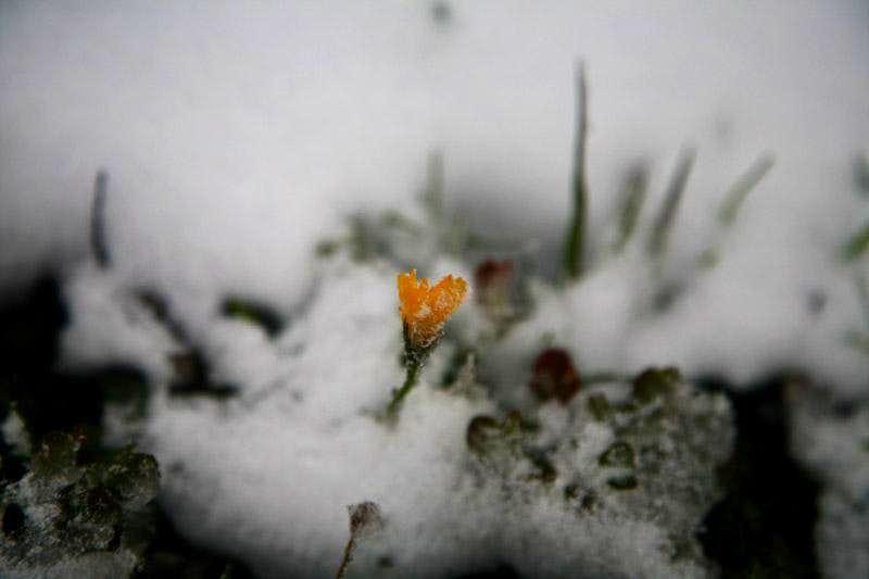 alpen wildflower