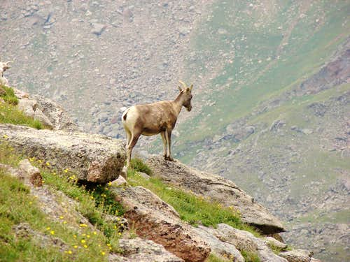 Mt Goat on Evans