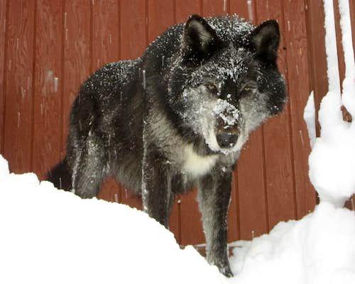 peakwolf