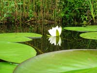 Waterlily <b><i>Nymphaea alba