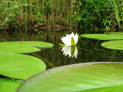 Waterlily <b><i>Nymphaea alba