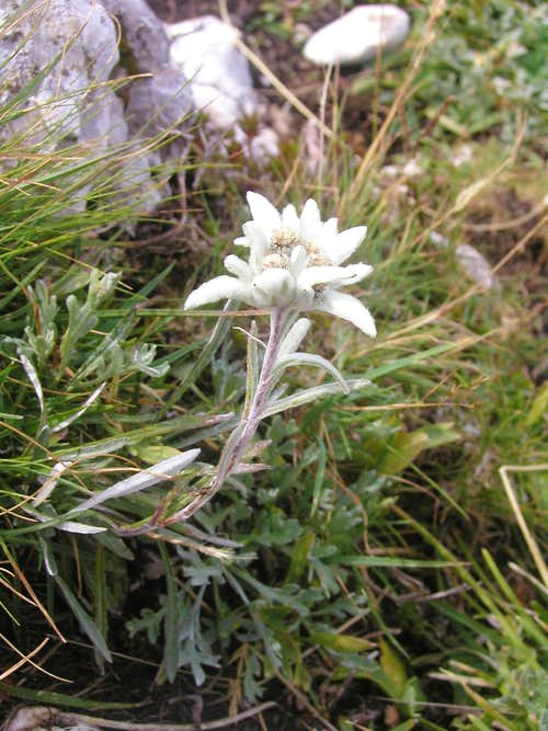 An edelweiss is very rare flower.