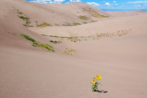 Prairie Sunflowers in the Dunefield, Great Sand Dunes National Park