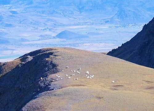 I counted 27 mountain goats...