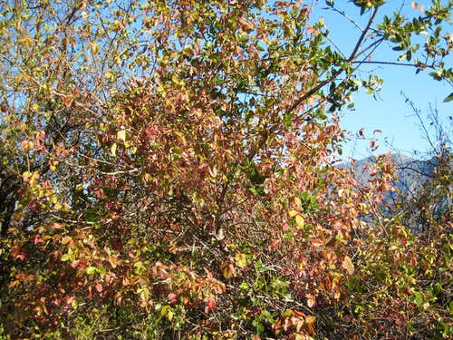 Poison Oak-NOT FOR VOTING