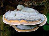 Red Banded Polypore ( Fomitopsis pinicola)