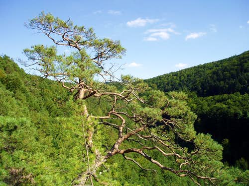 A giant bonzaï-pine on the top of the Winterfels !