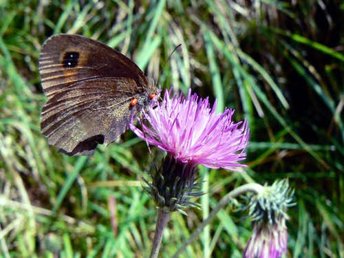 Butterfliy and wild thistle