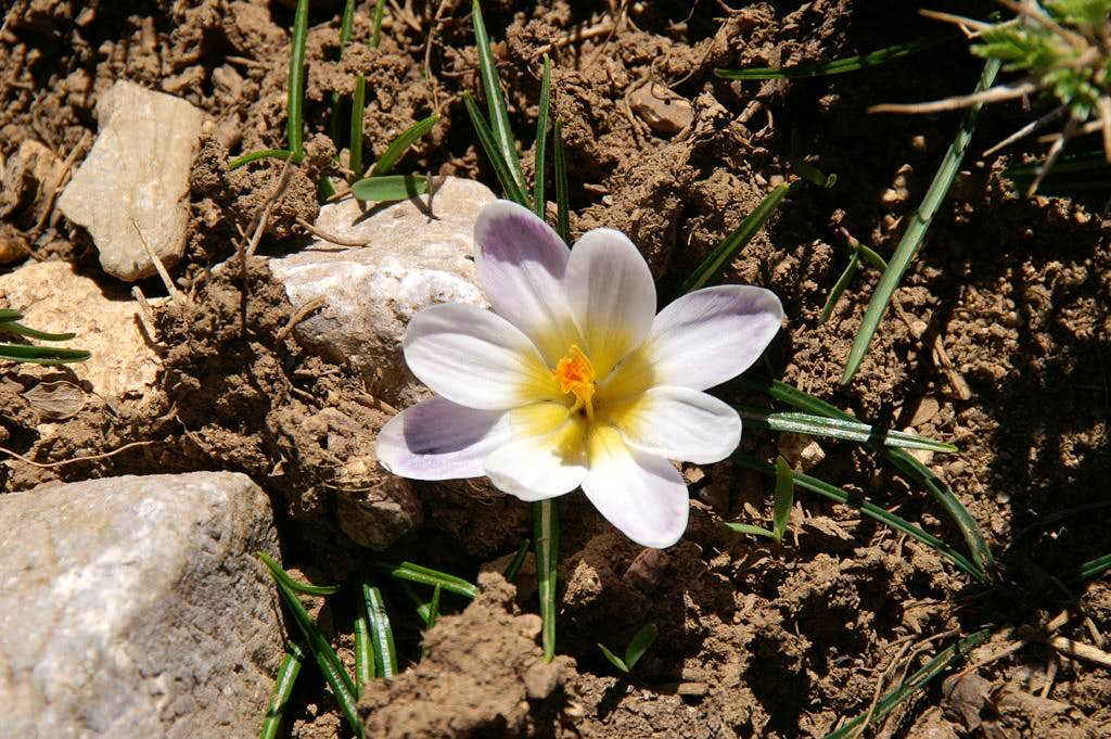 Crocus in May