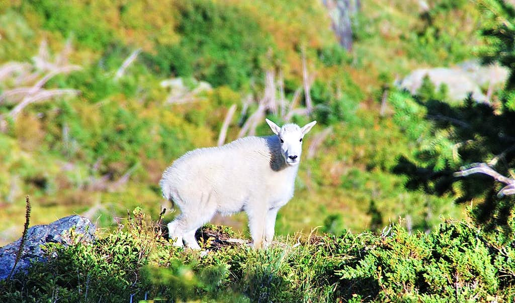 Mountain Goat on the slope above Leigh Lake