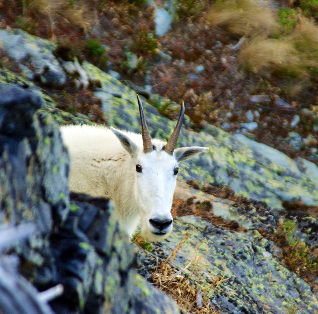 Mountain Goat above Leigh Lake
