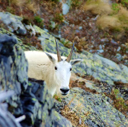 Mountain Goat above Leigh Lake