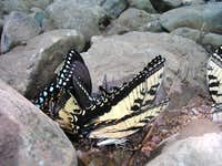 Butterflies on the dry riverbed