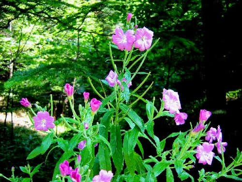 Hairy Willow-Herb