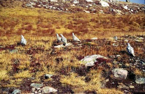 Ptarmigans halfway through...