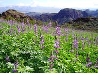 Lupine Fields on route to Boy Scout Hot Springs