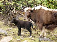 Yak mama and calf