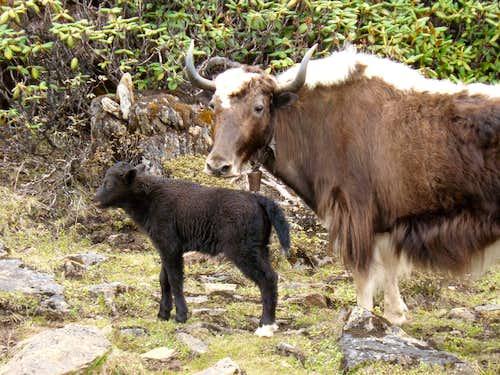 Yak mama and calf