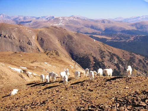 Mountain Goats of the Bald...