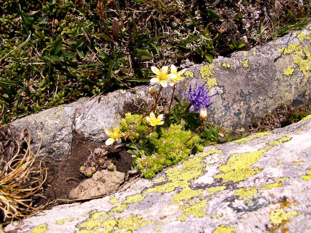 Saxifraga and ...