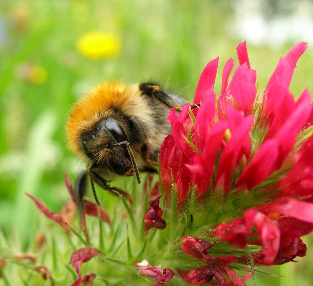 Bee close up