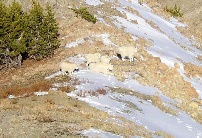 Mountain Goats Along the West...