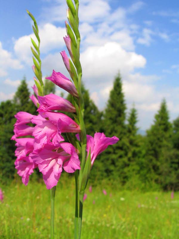 1000 images about Blomme Gladiolas on Pinterest