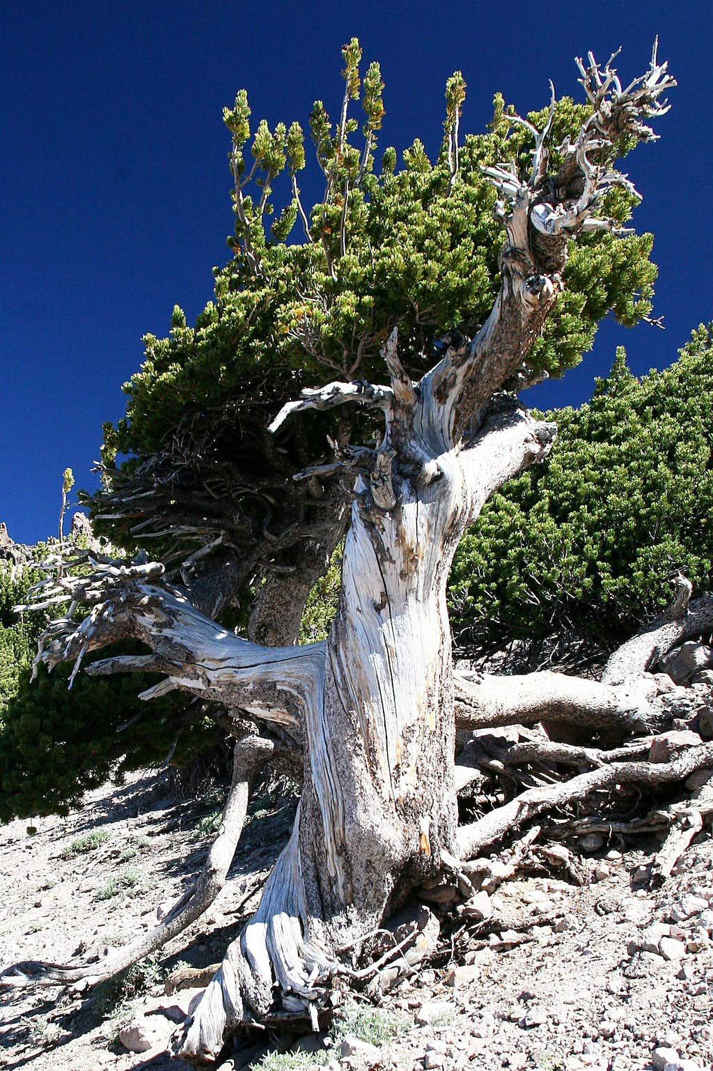 Bristlecone Pine on Lassen Peak