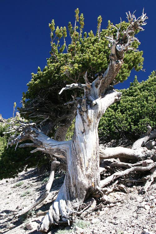 Bristlecone Pine on Lassen Peak