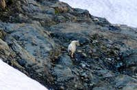 Mountain Goat (on Mt. Pugh)