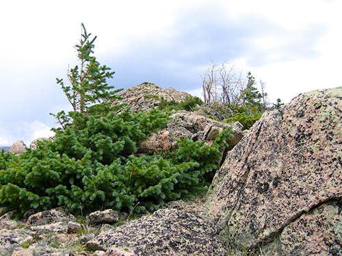 Dwarfed Pine