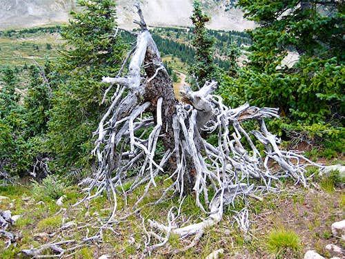 Dwarfed Pines Area