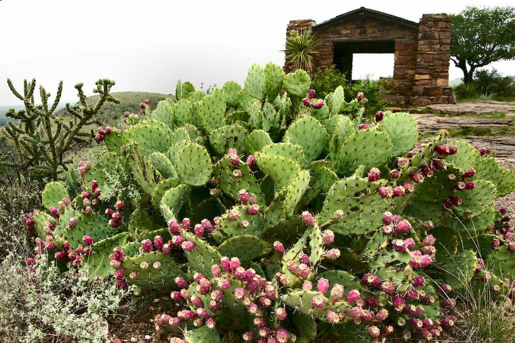 Cacti in the Davis Mountains
