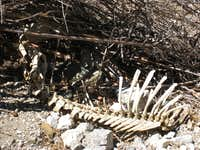 Animal Skeleton, San Gabriel Mtns.