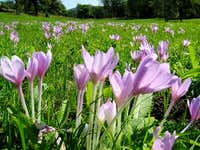 """Autumn Crocus"" in Magura National Park"