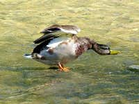 Male Mallard Duck taking flight from the River Tabor.