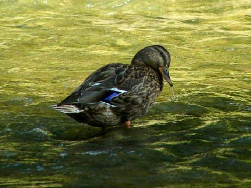 Female Mallard Duck in the River Tabor