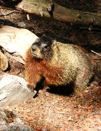 Mas Marmots