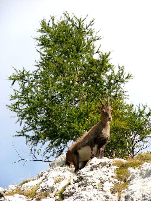 An alpine steinbock.