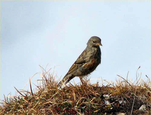 A mountain sparrow.