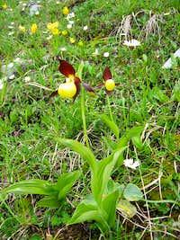 Ladies slipper Orchids