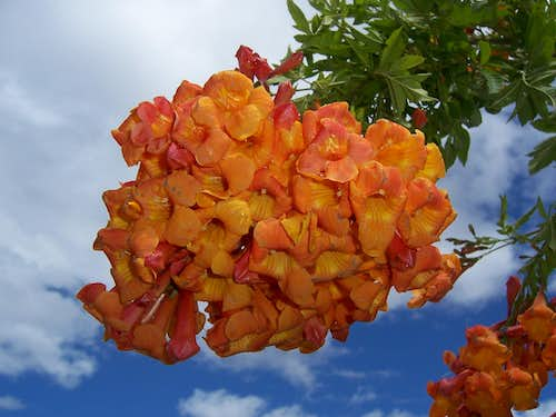 Tecoma blooming