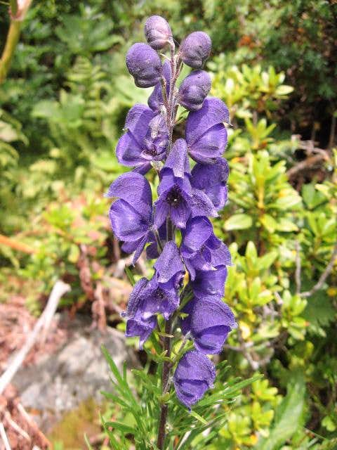 Blue Monkshood