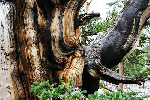 Bristlecone Pine on Wheeler Peak, NV
