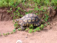 Cape Tortoise