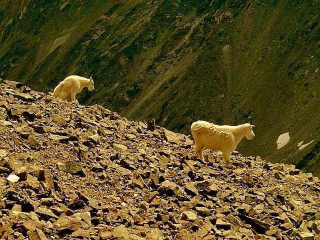 Mountain Goats. Torreys Peak, Colorado.