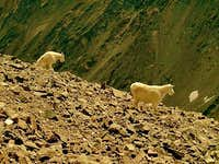 Mountain Goats. Torreys Peak, Colorado.