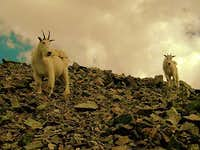 Mountain Goats. Torreys Peak. CO.